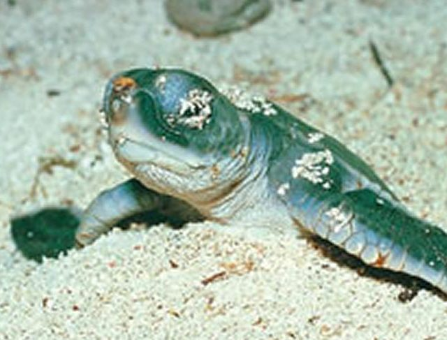 Turtle Hatching Bundaberg